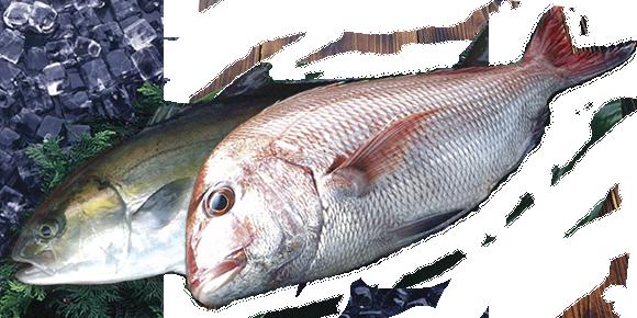 鮮魚・活魚